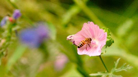 Insekten erwünscht! Es soll Brummen und Summen im Naturgarten.