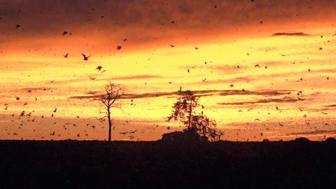 Jedes Jahr im November - wenn die Früchte und um den Kasanka Naturpark reif sind - schwärzt sich in Sambia der Himmel, wenn Millionen Flughunde aus den Nachbarländern im Park ankommen.