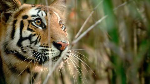 Wie auch kleine Stubentiger, pirschen sich Tigerjunge an alles an, was sich bewegt. Perfektes Training, um sich später fast lautlos ihrer Beute zu nähern.