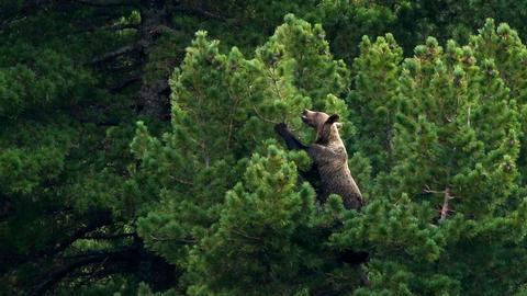 Braunbären lieben die Zapfen der Zirbelkiefern – dafür steigen sie sogar bis in die Baumwipfel.