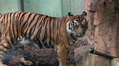 Tigermann Vanni aus dem Frankfurter Zoo ist eine beeindruckende Schönheit.