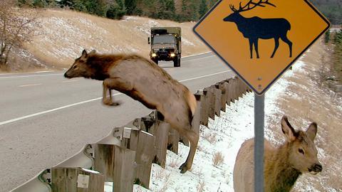 Wildwechsel - in Nordamerika sind Tiere auf dem Highway nichts Ungewöhnliches.