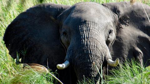 Elefant in Botswana.