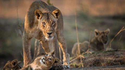 Löwin steht schützend über ihren Jungen im Luangwa Nationalpark, Sambia.