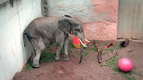 Elefantenbulle Tamo im Opel Zoo Kronberg muss im Spieleparadies zeigen, wie gut sein Ballgefühl ist.
