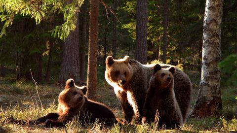 WILDES BALTIKUM - Rund 700 Braunbären leben in Estland, die Hälfte davon im Wald von Alutaguse.