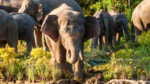 Borneos Waldelefanten
