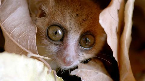 Mausmakis, die kleinsten aller Lemuren, geschützt in einer Baumhöhle.