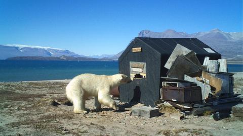 Eisbär vor einer kleinen Hütte in der Holmbucht; das Foto wurde mit einer automatischen Wild-Kamera aufgenommen. Die Holmbucht gehört zur unbewohnten nordostgrönländischen Insel Traill. In der Hütte können Wissenschaftler kochen, Vorräte lagern und bei Regen etwas Schutz finden. Regelmäßig wird die Hütte von Eisbären geplündert.