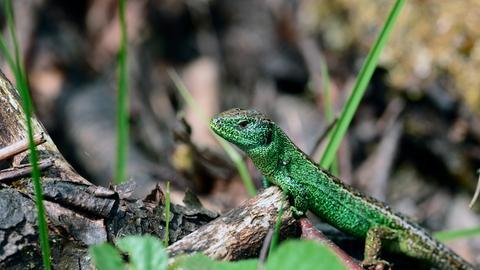 Farbenpracht: Eine Zauneidechse in seinem Revier hält Ausschau nach einem Weibchen.