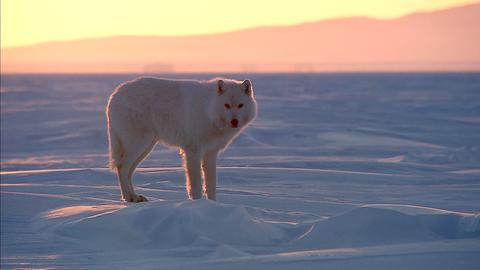 Polarwölfe leben ausschließlich in der Arktis - sie unterscheiden sich von anderen Wölfen durch die helle Farbe und das besonders weiche, dichte Fell.