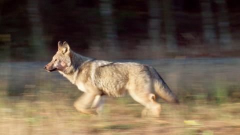 Wölfe können an einem Tag bis zu 70 Kilometer wandern.