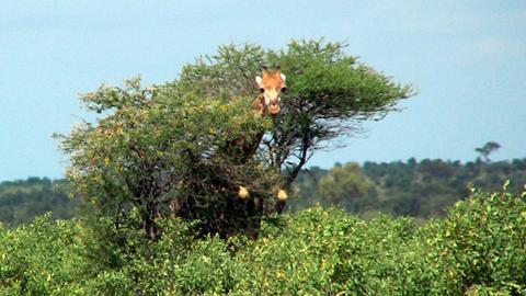 Im Krüger Park in Südafrika: Eine Giraffe schiebt den Kopf durchs Geäst einer Akazie.