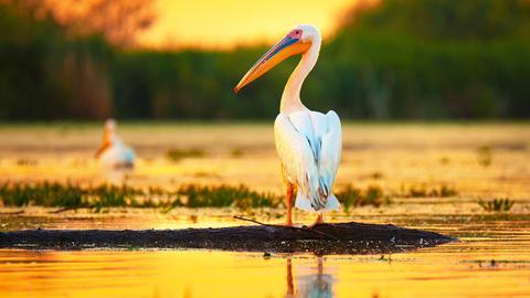 Ein prächtiger Pelikan steht mit dem Rücken zum Betrachter im Wasser und schaut seitlich nach links. Die untergehende Sonne taucht die Umgebung in orangen-glänzendes stimmungsvolles Licht.