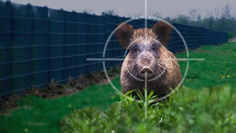 Ein Wildschwein im Fadenkreuz im Grünen vor einem hohen Zaun.