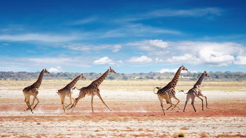 Rennende Giraffen in Namibias Steppe.
