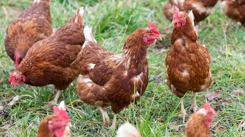 Mehrere braune Freilandhühner auf einer Wiese.
