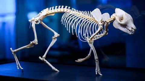 Die 3-D-Skelett-Montage, dass «Messeler Urpferd», steht in einer Vitrine. Das Hessische Landesmuseum Darmstadt widmet sich im Jubiläumsjahr dem «Messeler Urpferd». Der Fund des vollständigen erhaltenen Skelettes wurde unter anderem mit Hilfe modernster Technik zu einer 3D Skelett-Montage rekonstruiert.