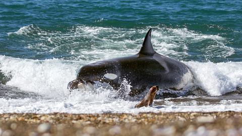 Ein Orca schnellt auf den Strand der argentinischen Halbinsel Valdés und greift eine junge Mähnenrobbe. Weniger als die Hälfte ihrer Angriffe sind erfolgreich.