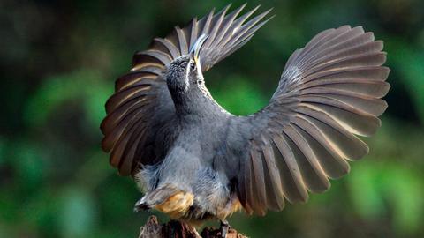 """Der junge Victoria Paradiesvogel übt den Balztanz, es dauert fünf Jahre, bis das Männchen ihn gelernt hat. Außerdem trägt der """"Halbstarke"""" noch nicht das glänzend schwarze Gefieder der alten Männchen."""