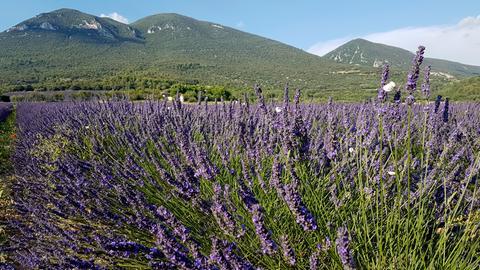 Lavendelfeld im Lubéron.