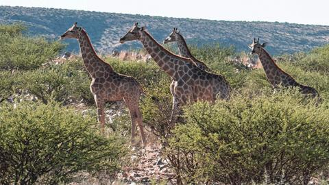 Eine Gruppe Giraffen im Etosha-Nationalpark. Der wilde Nationalpark liegt im Norden Namibias.