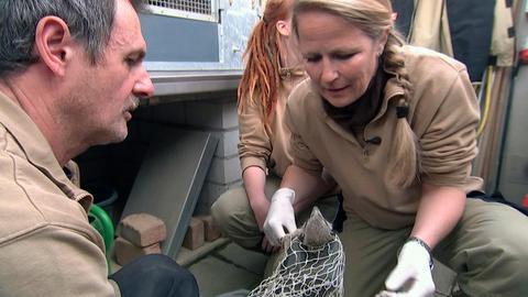Dr. Nicole Schauerte untersucht die neu geborenen Erdmännchenbabys.