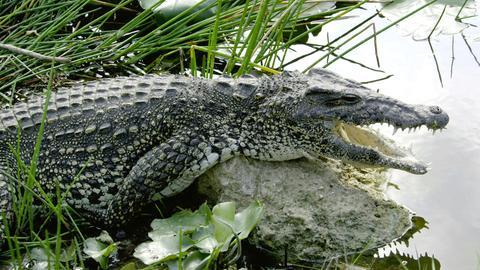Das Rautenkrokodil ist nur noch in zwei Sumpfgebieten Kubas zu finden. Durch Schutzmaßnahmen erholt sich der Bestand dieser seltenen Reptilien allmählich wieder.