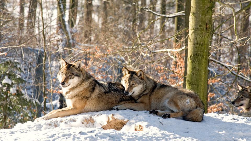 In Rumänien leben über 3.000 Wölfe – mehr als in fast jedem anderen Land Europas.