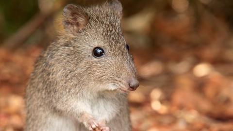 Das Potoroo, auch Kaninchenkänguru, war früher weit verbreitet im südlichen Australien – heute kommt es längst nicht mehr überall vor. Es ernährt sich vorwiegend von Pilzen.