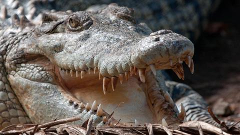 Das Salzwasserkrokodil ist das größte Krokodil überhaupt und kann bis zu sechs Meter lang werden.