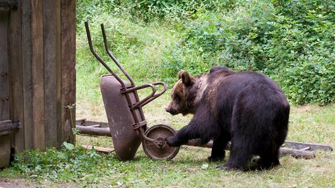 Der Bär genießt seine gerade gewonnene Freiheit.