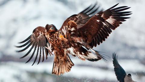 Ein Steinadler mit offenen  Flügeln im Schnee. Rechts unten im Bild: ein weiterer Vogel