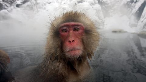 Keine Affenart lebt in kälteren Regionen als die Makaken Japans. Hin und wieder gönnen sie sich ein warmes Bad in den Thermalquellen Honshus.