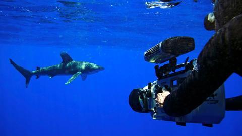 Der Weißspitzen-Hochseehai gehört zu den größten Haien. Ein BBC-Kameramann filmt ihn im Pazifik vor Hawaii.
