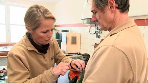 Ein Kea-Papagei hat sich schwer am Kopf verletzt. Dr. Nicole Schauerte gibt ihm eine Spritze gegen die Schmerzen.