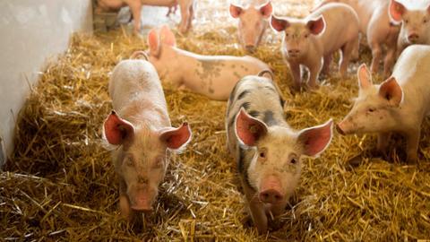 Junge Bioschweine im Stall des Biohofs von Heinrich und Andreas Fritz-Emmerich.