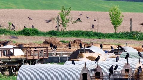 Mehrere Hundert Kolkraben sammeln sich an einer Schweinemastanlage bei Wardow (MW). Es ist Deutschlands größte Ansammlung von Kolkraben.