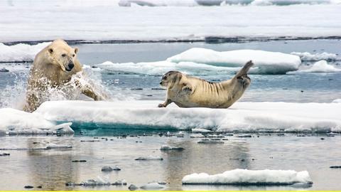 Ein Eisbär greift eine Bartrobbe an, die sich von der Fischjagd erholt.