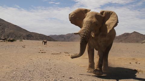 In der Trockenzeit wandern die Elefanten über weite Strecken auf der Suche nach Futter.