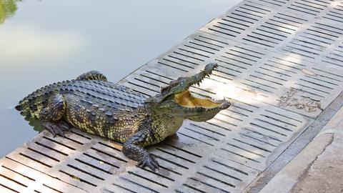 Tiere bis unters Dach_Alligator