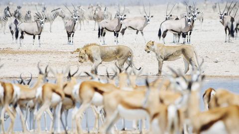 Antilopen, Sprinböcke, Zebras, Kudus und Löwen an einer Wasserstelle.