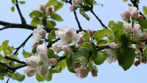 Rosa Apfelblüten