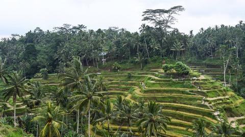 Reisterrassen bei Ubud auf Bali.