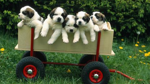 Fünf kleine Bernhardiner Welpen in einer Karre
