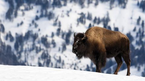 Ein Bison im verschneiten Yellowstone-Nationalpark