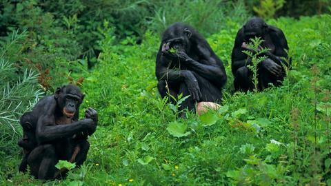 Drei Bonobos mit einem Jungtier im Grünen.