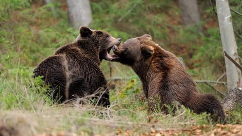Zwei halbstarke Braunbären im Wald.