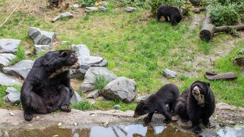 Vier Brillenbären im Zoo