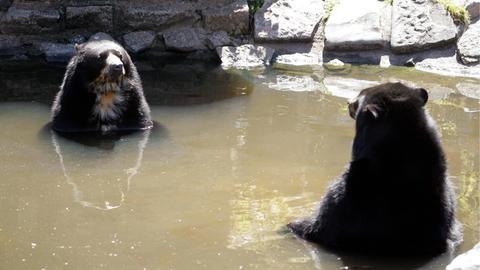 Zwei Brillenbären im Wasser